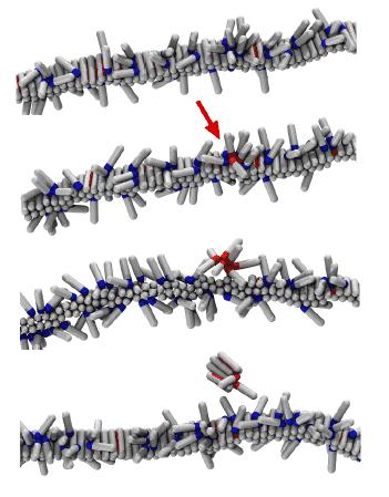 Mechanism of the fibril self-replication.